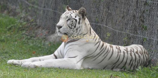 Tigre - Parque Zoológico Nacional
