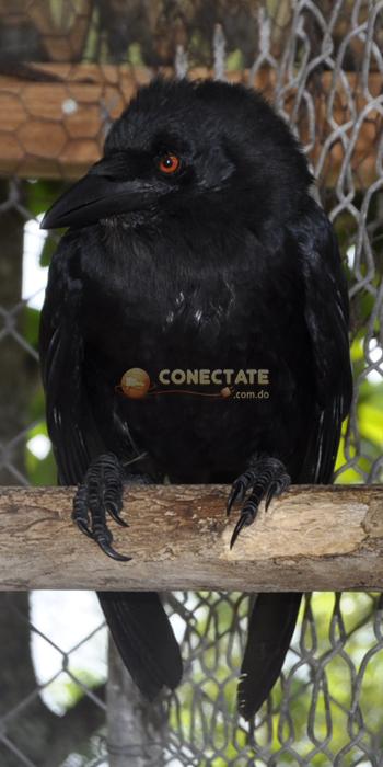 Cuervo Corvus Leucognaphalus