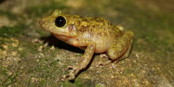 Eleutherodactylus flavescens