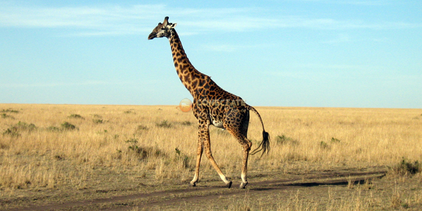 Jirafa Maasai Mara